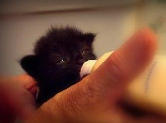 Polly The Kitten Wiggles Her Ears When She Drinks Milk From A Baby Feeding Bottle. So CUTE!