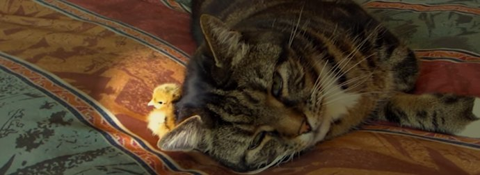 Drenched In Rain, Adorable Little Farm Chick Buries himself Under Cat's Head To Stay Warm And Dry