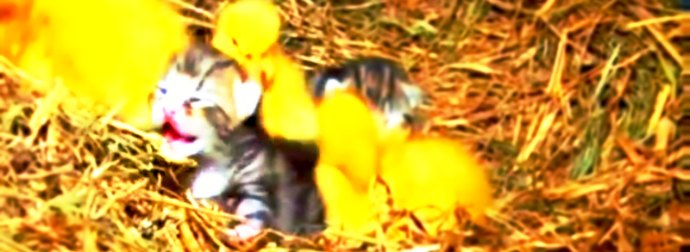 Mama Cat Feeds And Nurtured Newly Hatched Ducklings In Rural Irish Farm