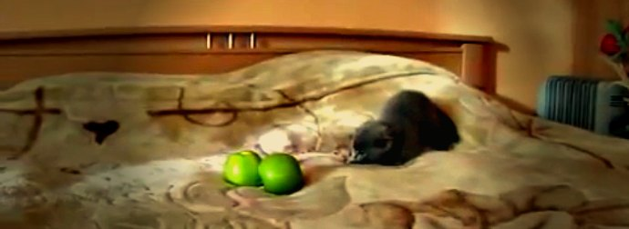 Tiny Grey Kitten Jumps Around On A Bed When He Sees Green Apples