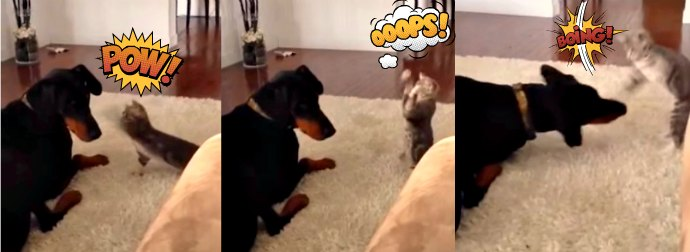 Adorably Cute Kitten Drops Kung-Fu Moves On A Big Ugly Doberman Dog