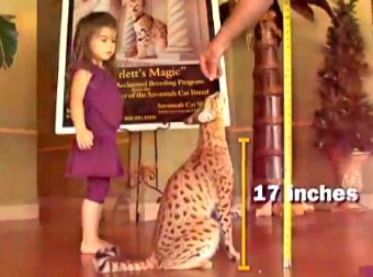The Worlds Largest Domestic Cat Is The Scarlett's Magic And It's A Cross Between A Domestic Cat And A Serval