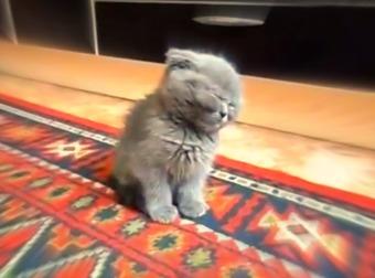 Hilarious Munchkin Kitten Falls Asleep While Standing