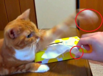 Cute Orange Tabby Guards Tissues And Won't Let Anyone Even Come Near Them Or Take One. Hilarious!