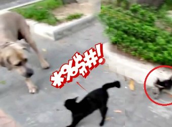 Black Cat Drops A Ninja-Style Flying Kick On Dog She Thinks Is Attacking Her New Born Kitten