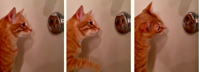 Orange Tabby Cat Grooms And Checks Herself Out In Shower Knob Mirror
