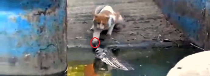 Indian Cat Encounters A Live Alligator In A Pond. What Happens Next Will Send Shivers Down Your Spine.