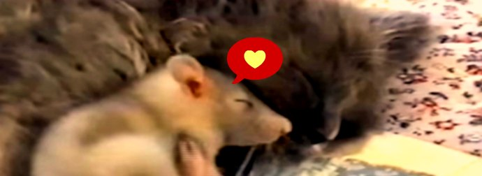 Mouse Snuggles Up With A Cat.... Wait What???