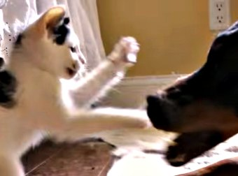 Tiny Kitten Takes On A Ferocious Doberman Dog In An Ugly Dirty Fight... And WINS!!!